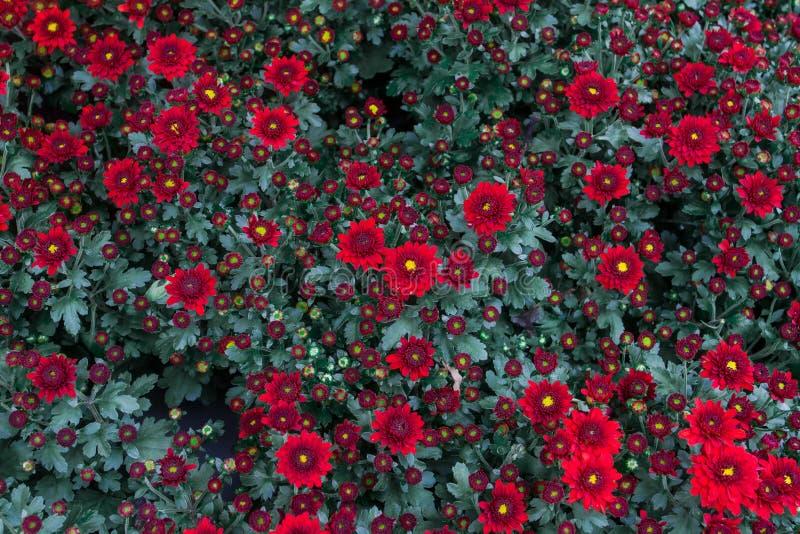 Grandifflora di Dendranthemum una pianta a forma di fiore con i colori luminosi facili E ci sono molte varietà da scegliere da so immagine stock