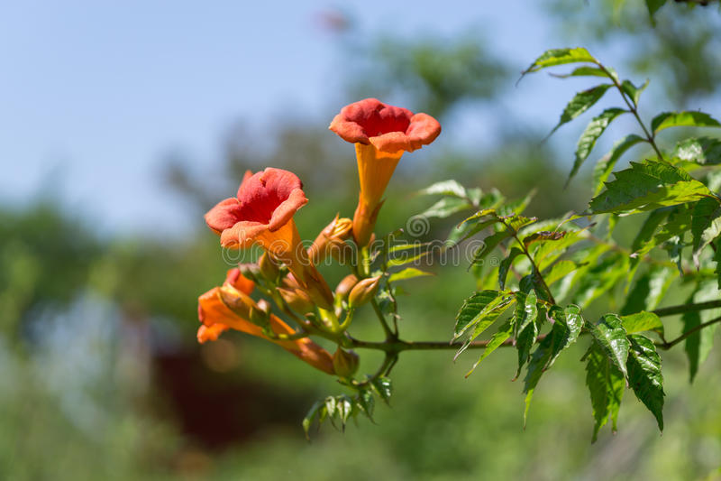 Grandiflora Campsis royaltyfria bilder