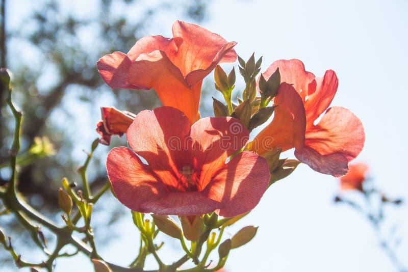Grandiflora Campsis radicans royaltyfria foton