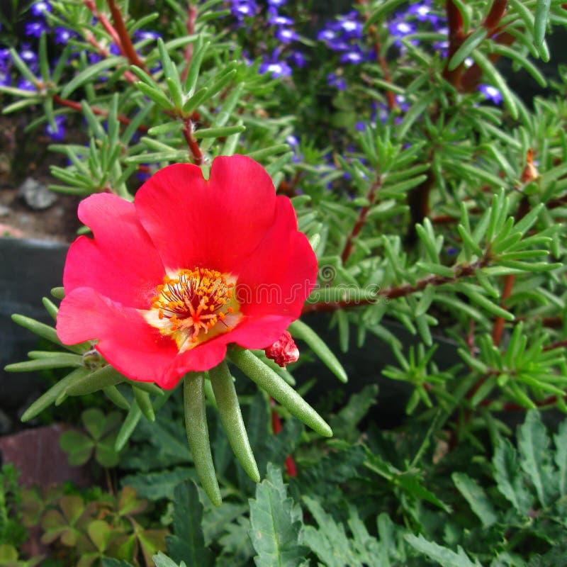 grandiflora portulaca λουλουδιών στοκ εικόνες με δικαίωμα ελεύθερης χρήσης