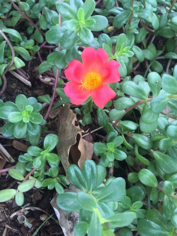 Grandiflora Portulace royalty-vrije stock foto's