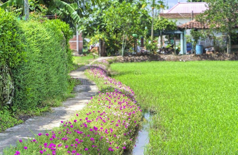 Grandiflorablume Portulaca, die auf dem Straßenrandland blüht lizenzfreie stockfotografie