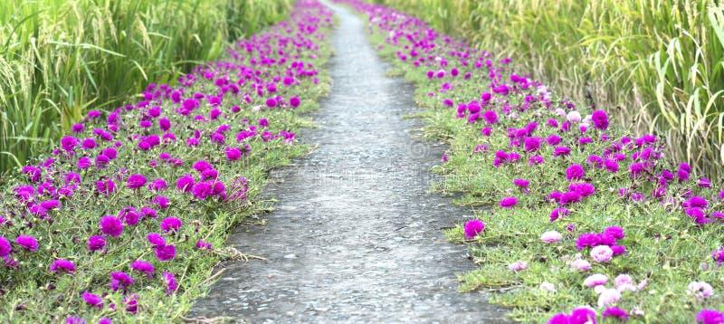 Grandiflorablume Portulaca, die auf Straßenrandland blüht stockbild