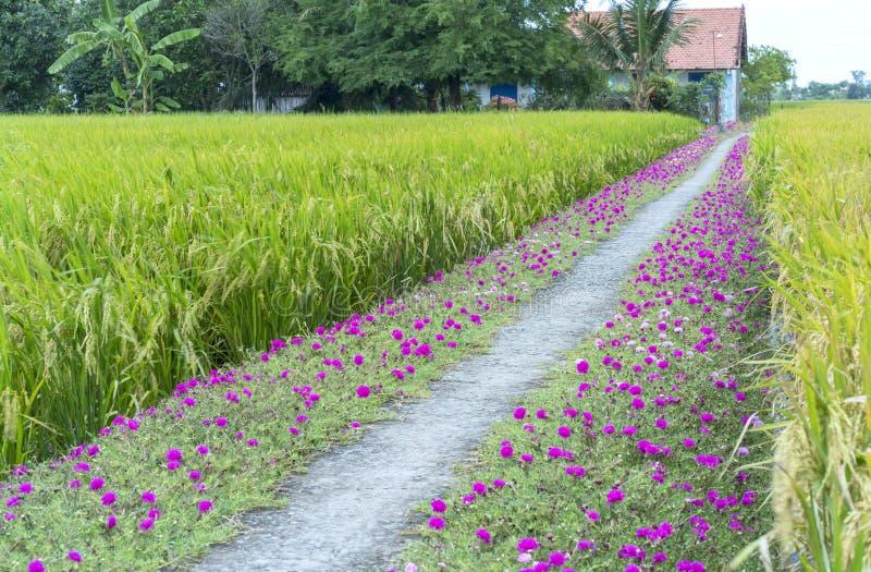 Grandiflorablume Portulaca, die auf Straßenrandland blüht lizenzfreie stockbilder