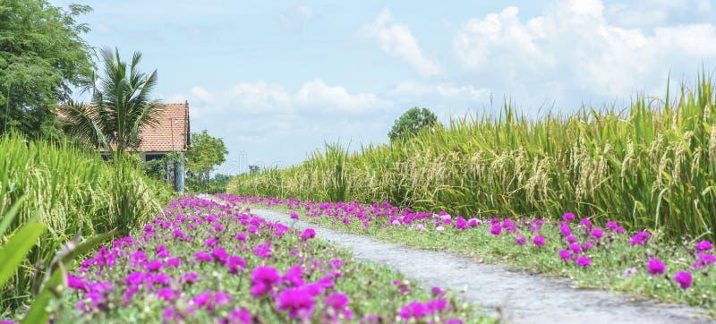 Grandiflorablume Portulaca, die auf Straßenrandland blüht stockfoto