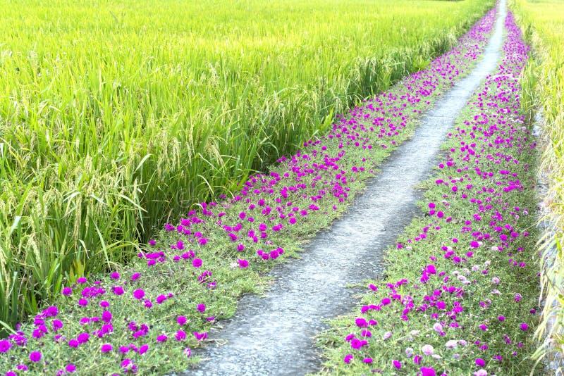 Grandiflorablume Portulaca, die auf Straßenrandland blüht lizenzfreie stockfotos