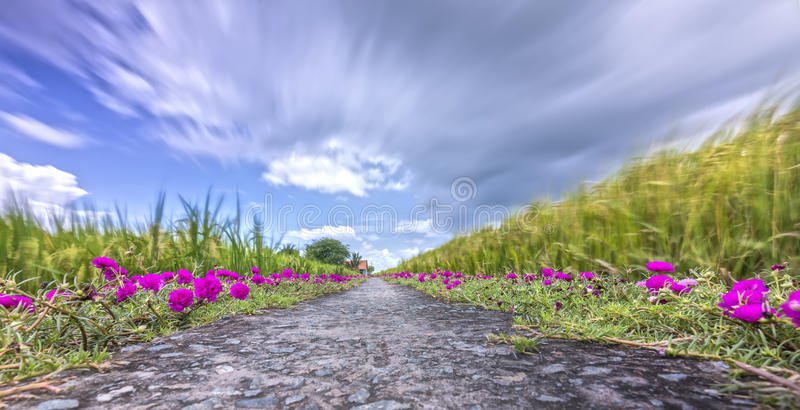 Grandiflorablume Portulaca, die auf Straßenrandland blüht stockbilder
