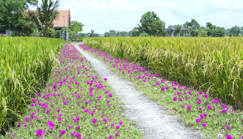 Grandiflorablume Portulaca, die auf Straßenrandland blüht stockfotografie