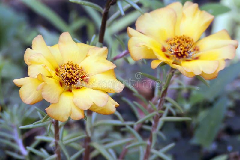 Grandiflorablumen Portulaca stockfoto