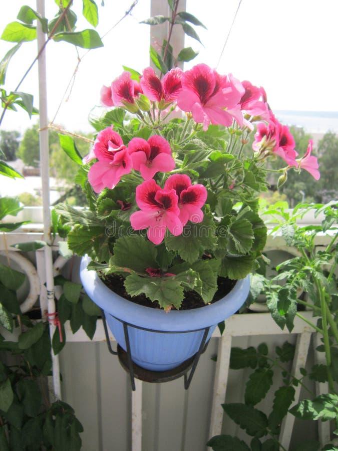 Grandiflorum di fioritura del pelargonium del geranio in vaso di fiore Bello giardino sul balcone fotografia stock libera da diritti