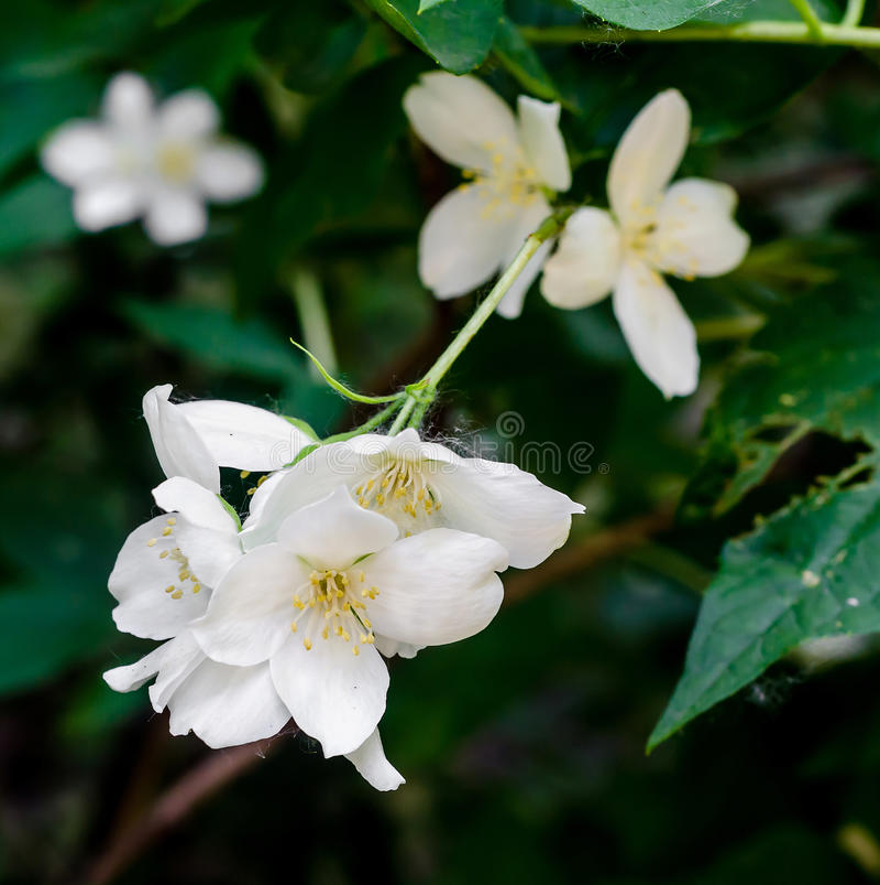 Grandiflorum Jasminum, также известное различно как испанский жасмин, королевский жасмин, Catalonian жасмин стоковое фото