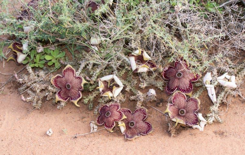 Grandis d'Edithcolea de tapis de Perse fleurissant dans l'habitat sec photographie stock libre de droits