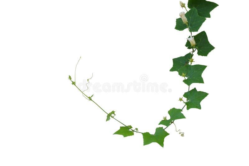 Grandis de Ivy Gourd Coccinia, planta de videira da trepadeira isolada no whi fotos de stock