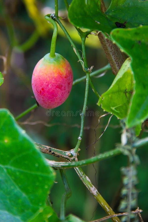 Grandis de Ivy Gourd ou do Coccinia maduros imagens de stock royalty free