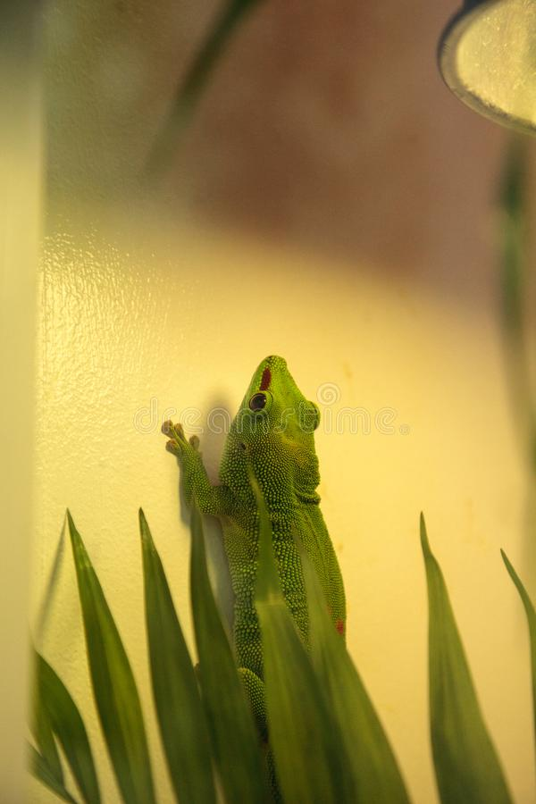Grandis verdes kochi do madagascariensis de Phelsuma do geco do dia imagem de stock royalty free