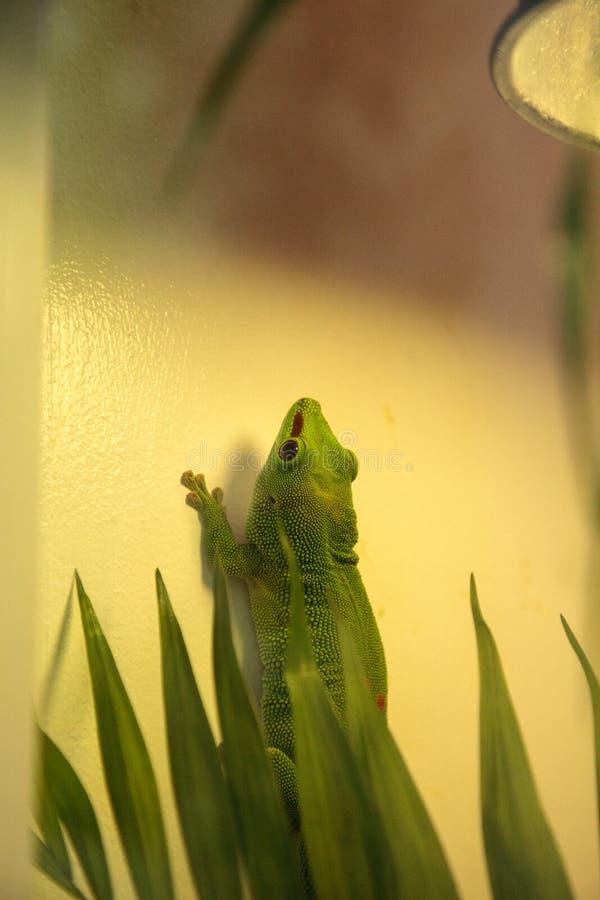 Grandis verts Kochi de madagascariensis de Phelsuma de gecko de jour image libre de droits
