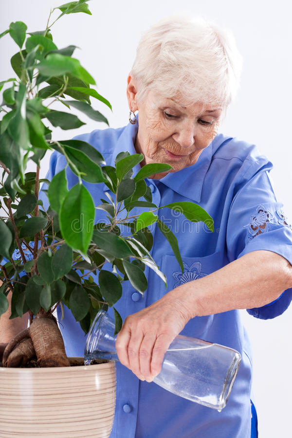 Grandma gardener watering. A grandma gardener watering a big plant in a flowerpot stock photo