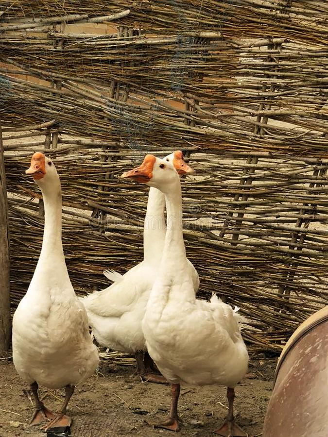 Grandma`s duck. Inner Mongolia Tongliao Kulun Banner.Grandma`s family is in a beautiful rural area. Many things are made by hand, with wicker-woven walls, ducks stock image
