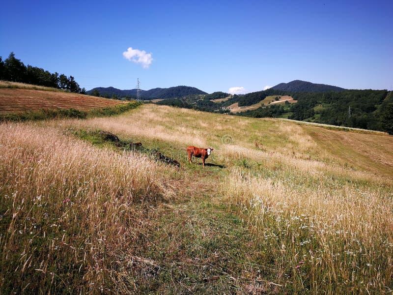Grandma& x27; s krowa obrazy stock