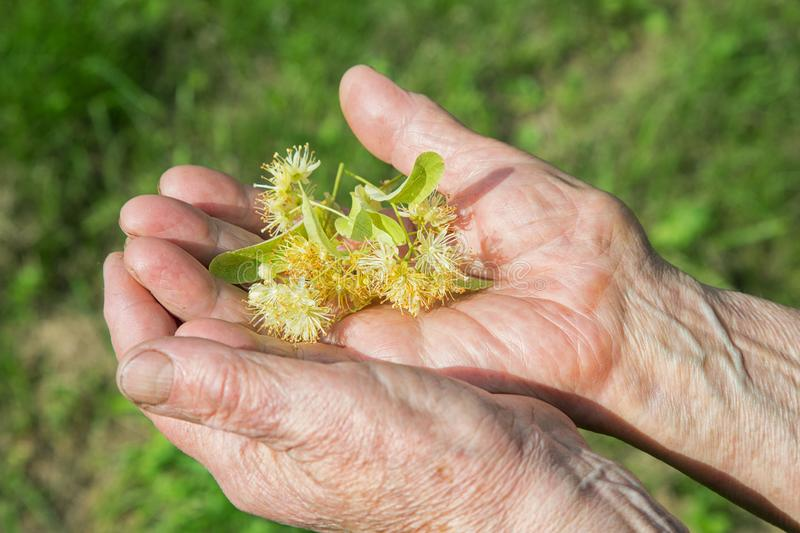 Grandmother holds a lime flower in her hands stock image