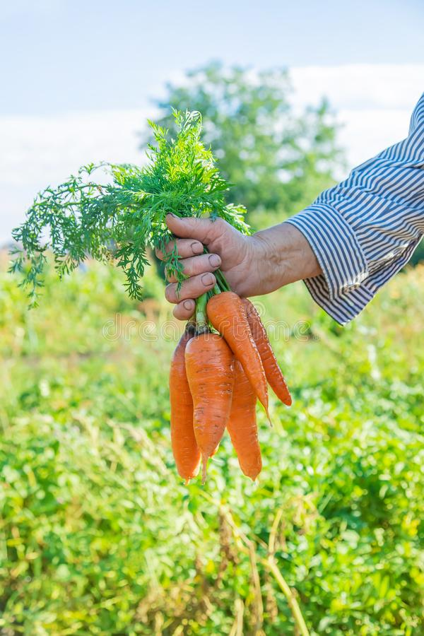 Grandmother with vegetables in her hands in the garden. Organic vegetables. Selective focus royalty free stock images