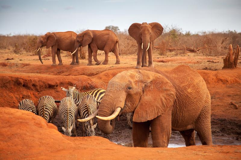 Grands éléphants rouges avec quelques zèbres sur un point d'eau images stock