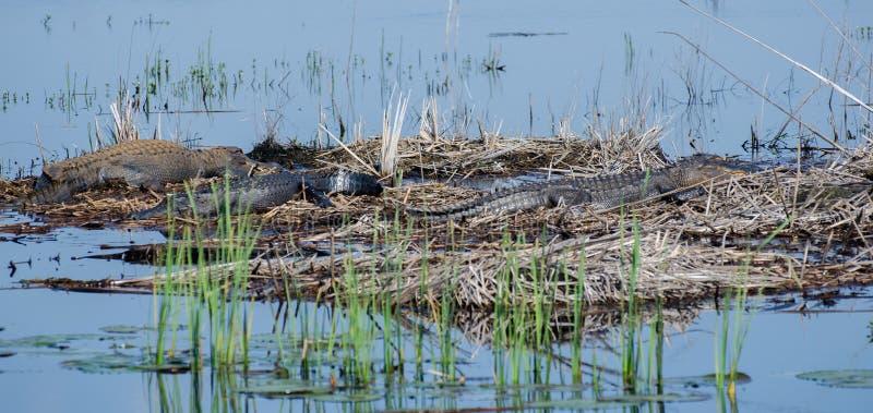 Grands alligators de Taureau, Savannah National Wildlife Refuge photographie stock
