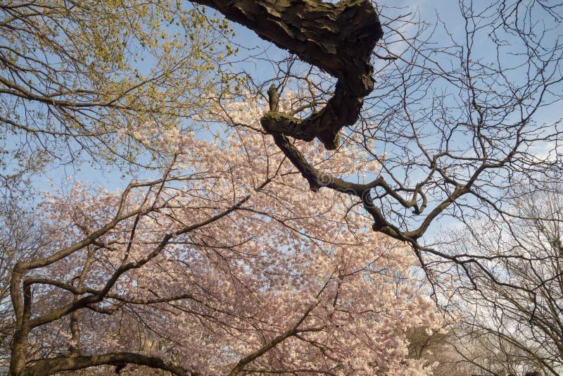 Grands arbres buding majestueux une journée de printemps en parc photo libre de droits