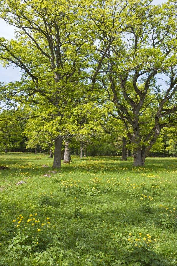 Grands arbres de chêne photo libre de droits