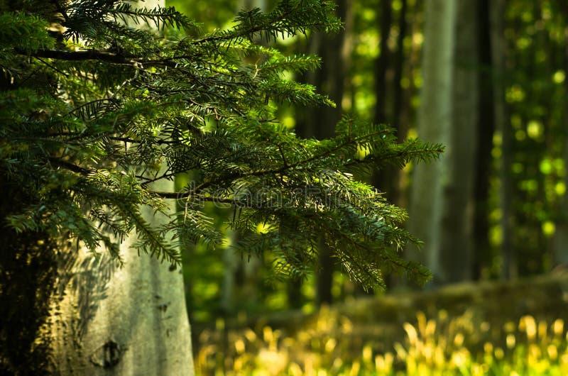 Grands arbres et brances dans une forêt dense images libres de droits