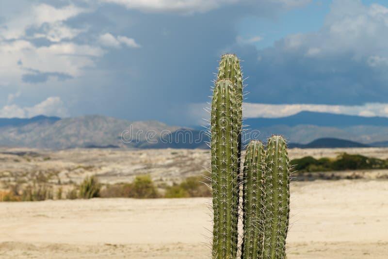 Grands cactus dans le désert rouge, désert de tatacoa, Colombie, latin Amer photo stock