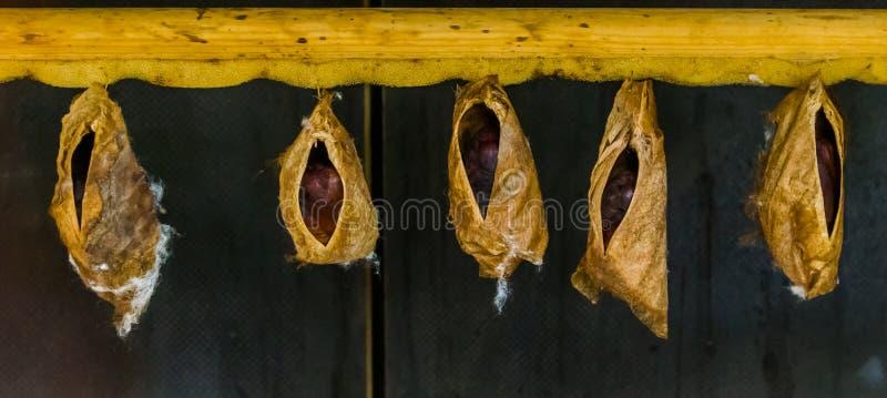 Grands cocons de papillon d'une espèce tropicale, insectes subissant la métamorphose photographie stock