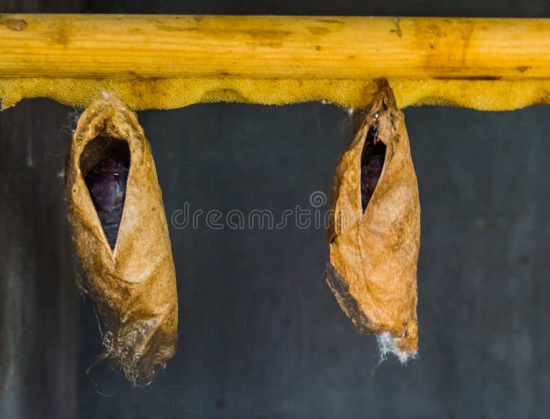 Grands cocons tropicaux de papillon accrochant sur une poutre en bois, métamorphose d'insecte photo stock