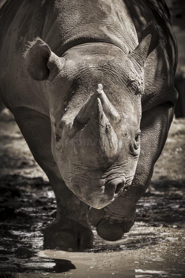 Grands frais noirs mis en danger de rhinocéros vers l'appareil-photo au zoo local images stock