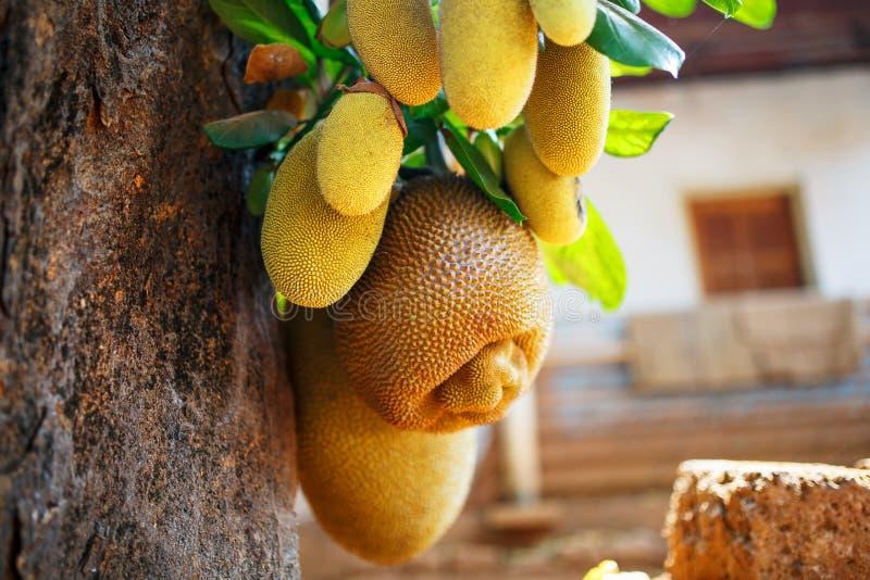 Grands fruits frais de coup de jacquier sur un arbre dans la perspective des feuilles vertes Jacquier dans un environnement natur photos libres de droits