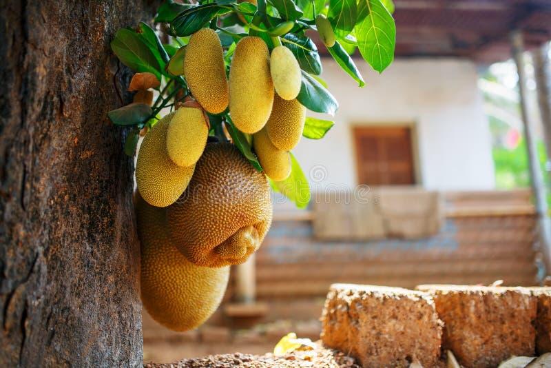 Grands fruits frais de coup de jacquier sur un arbre dans la perspective des feuilles vertes Jacquier dans un environnement natur images libres de droits