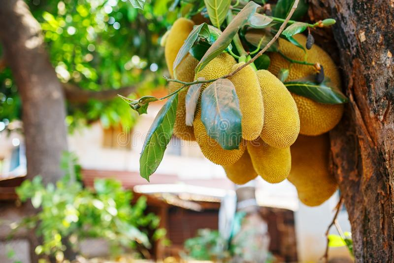 Grands fruits frais de coup de jacquier sur un arbre dans la perspective des feuilles vertes Jacquier dans un environnement natur photo libre de droits