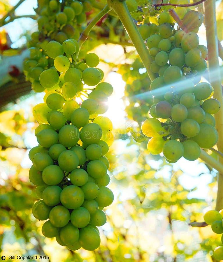 Grands groupes de raisins verts accrochant sur une vigne avec le soleil brillant par derrière photographie stock libre de droits