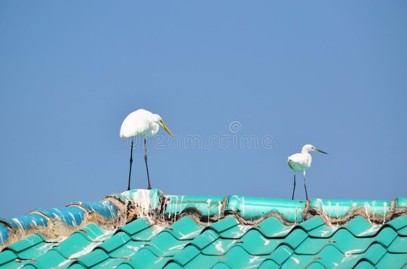 Grands hérons blancs mûrs et jeunes sur un toit semblant droit photographie stock