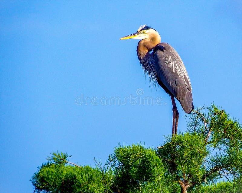 Grands herodias d'Ardea de héron bleu dans les marais de la Floride photos stock