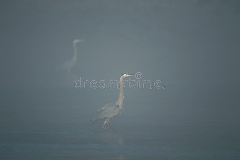 Grands herrons bleus dans le brouillard de matin photographie stock libre de droits