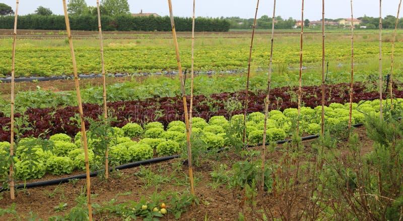 grands laitue et radicchio verts dans le grand potager images libres de droits