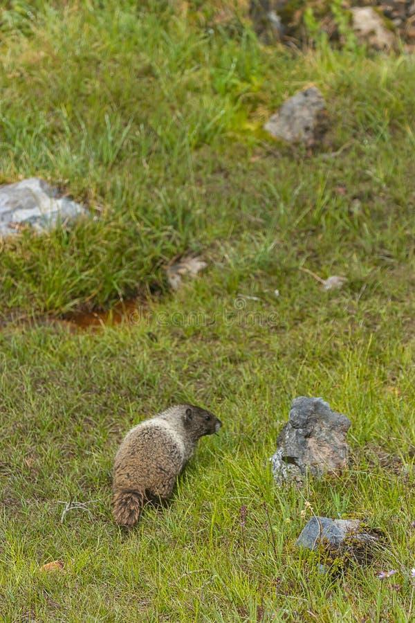 grands mélanges ronds de marmotte avec des pierres dans le pré photos stock