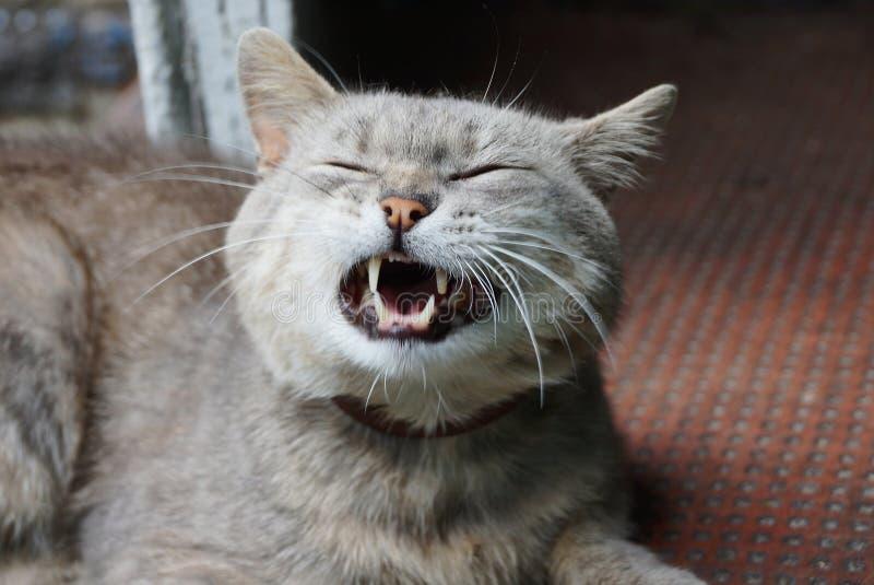 Grands mensonges gris et bâillements d'un chat images stock