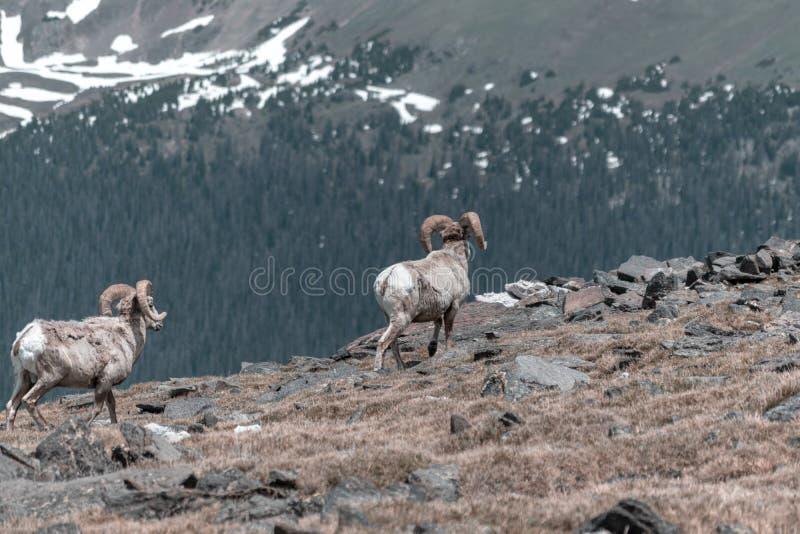 Grands moutons de klaxon images stock