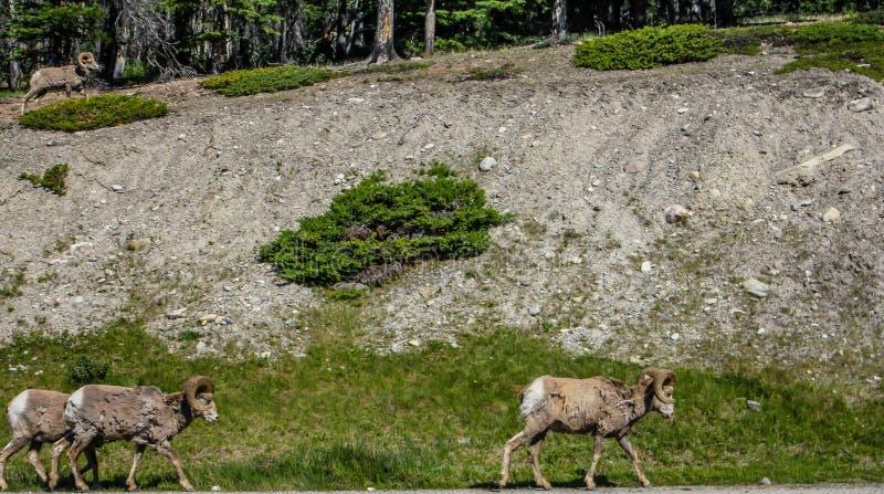 Grands moutons de klaxon, jaspe, parc national, Alberta, Canada images libres de droits
