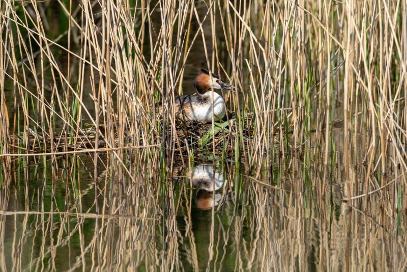 Grands oeufs d'incubation de cristatus de Podiceps de grèbe crêté et se reposer sur le nid caché parmi des roseaux de marécage images libres de droits