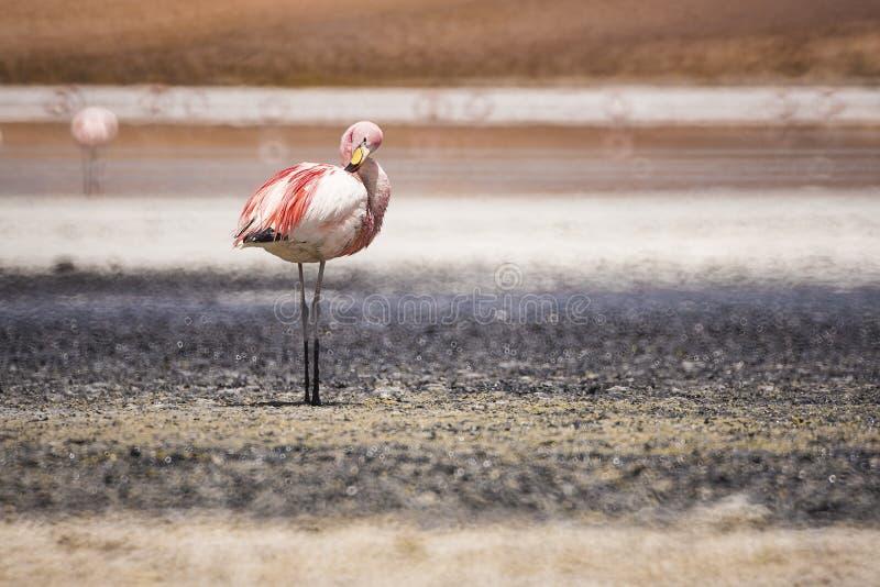 Grands oiseaux de FLAMANT avec le fond mou de Bokeh, Uyuni Bolivie photos libres de droits