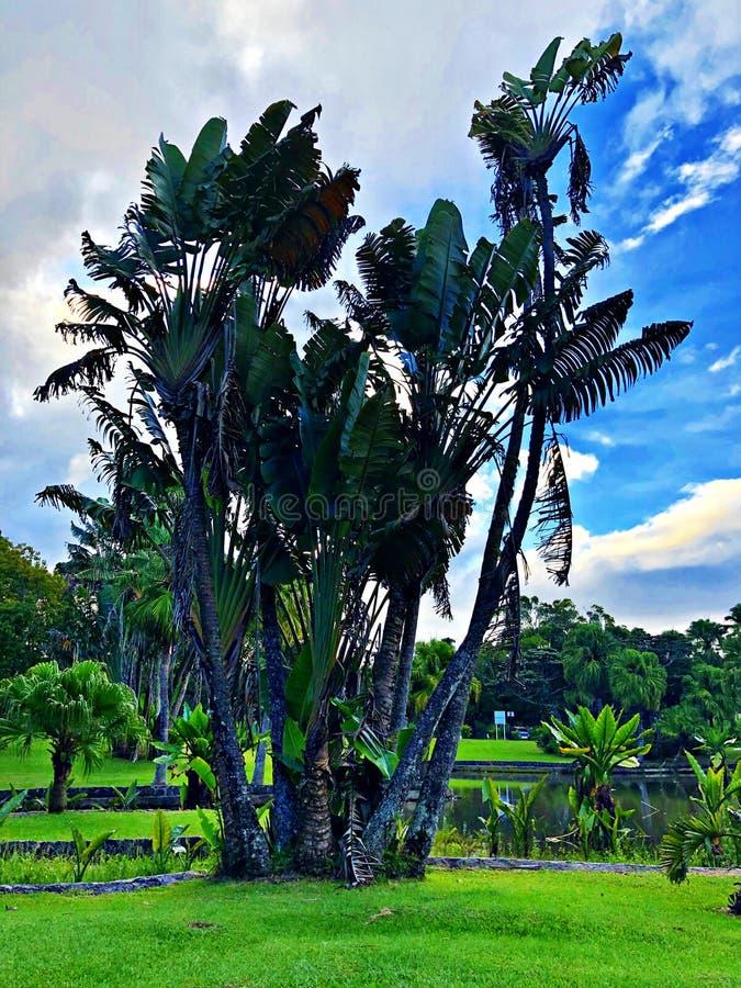 Grands palmiers au jardin botanique, Mauritius Island photos stock
