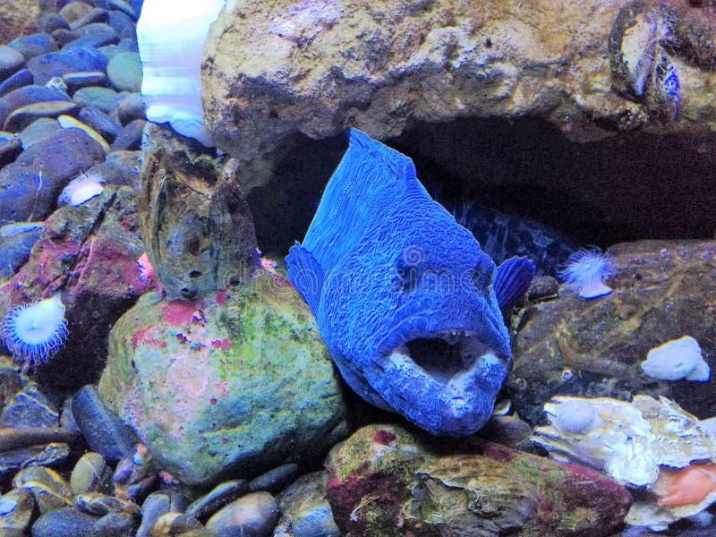 Grands poissons bleus images stock